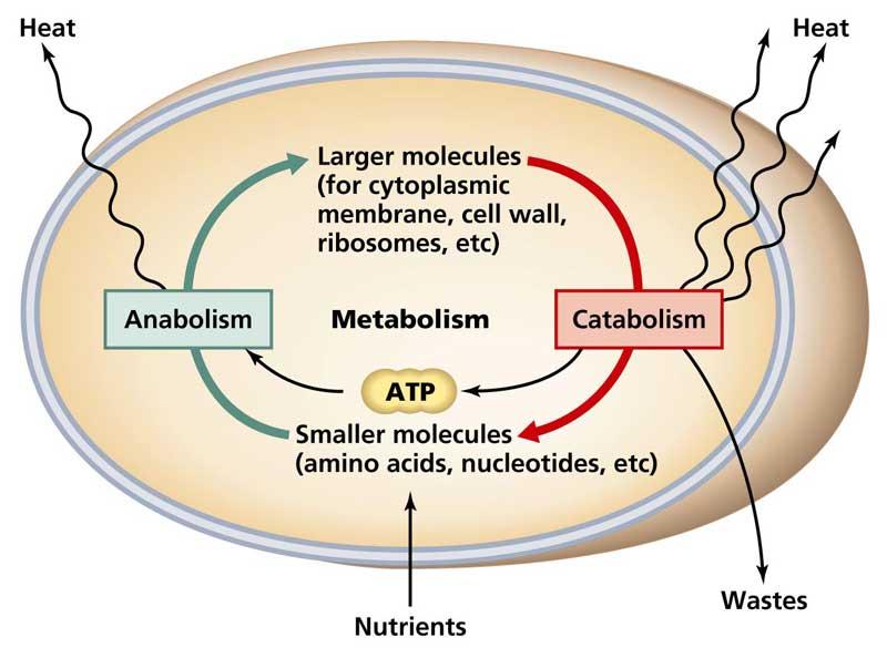 metabolizmo procesai